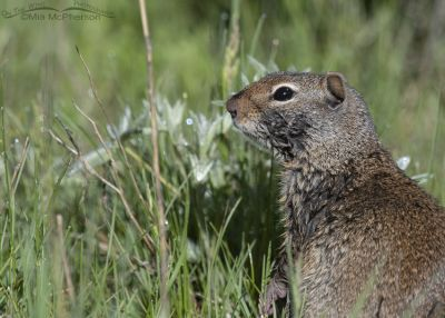Uinta Ground Squirrel damped by dew, Little Emigration Canyon, Summit County, Utah
