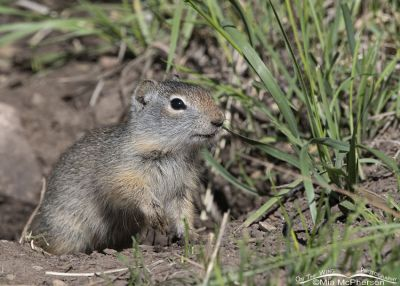 Young Uinta Ground Squirrel at a burrow, Little Emigration Canyon, Summit County, Utah