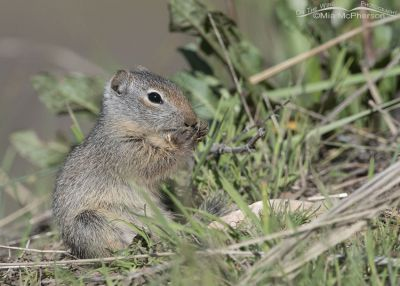 Young Uinta Ground Squirrel eating while sitting, Little Emigration Canyon, Summit County, Utah