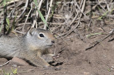 Young Uinta Ground Squirrel stretching out on the ground, Little Emigration Canyon, Summit County, Utah