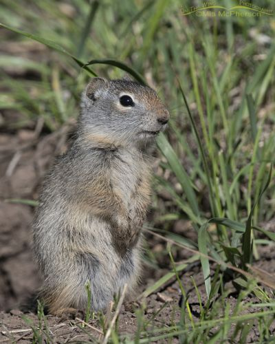 Baby Uinta Ground Squirrel standing next to its burrow, Little Emigration Canyon, Summit County, Utah