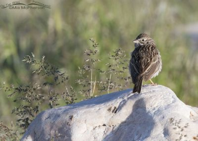 Back view of a Vesper Sparrow on a rock, Antelope Island State Park, Davis County, Utah