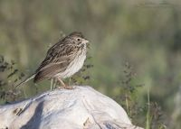 Vesper Sparrow in early morning light, Antelope Island State Park, Davis County, Utah