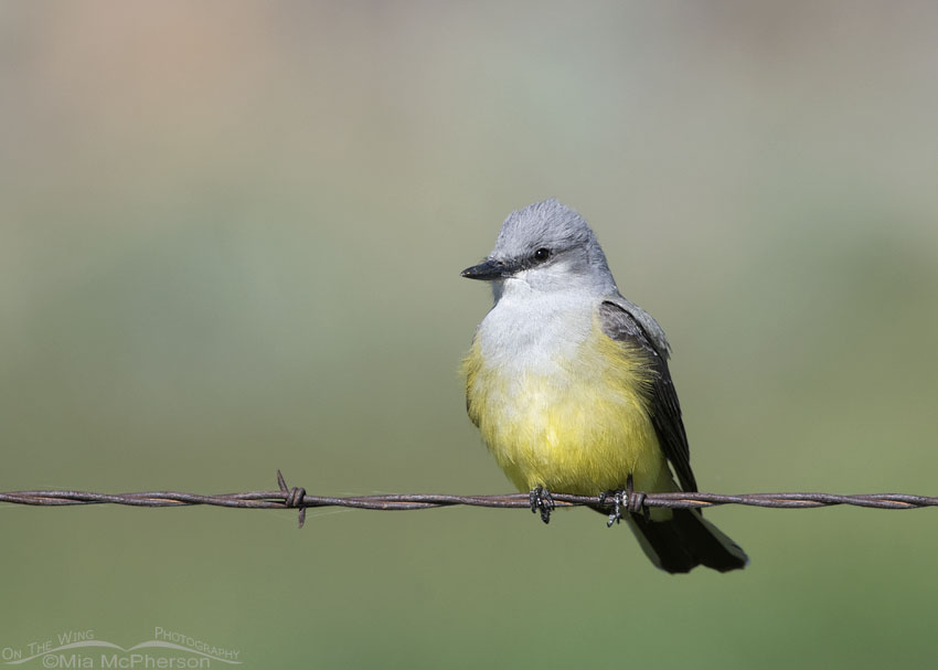 Adult Western Kingbird perched on rusty barbed wire, Box Elder County, Utah