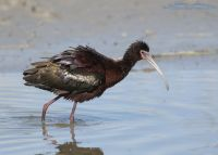 White-faced Ibis in breeding plumage all fluffed up, Bear River Migratory Bird Refuge, Box Elder County, Utah
