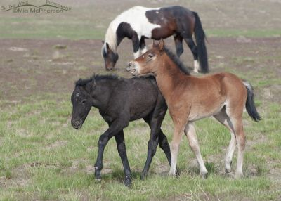 Young Wild horses playing, West Desert, Tooele County, Utah