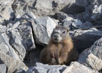 Yellow-bellied Marmot pup grooming its tail, Box Elder County, Utah