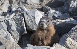 Yellow-bellied Marmot pup grooming its tail, Box Elder County, Utah