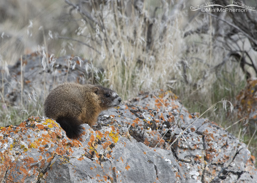 Young Yellow-bellied Marmot pup on a lichen encrusted rock, Box Elder County, Utah
