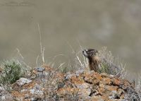 Spring Yellow-bellied Marmot pup, Box Elder County, Utah