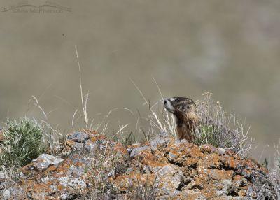 Spring Yellow-bellied Marmot pup, Box Elder County, Utah