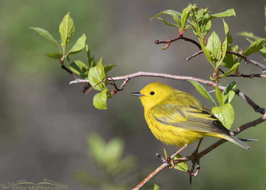 Yellow Warbler male in the mountains, Little Emigration Canyon, Summit County, Utah