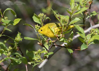 Male Yellow Warbler foraging, Summit County, Utah