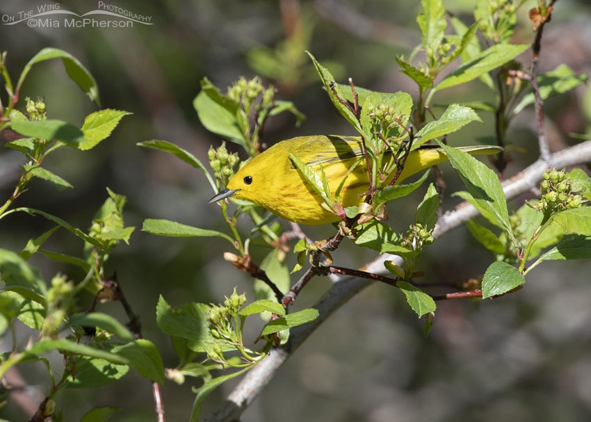 Male Yellow Warbler foraging, Summit County, Utah