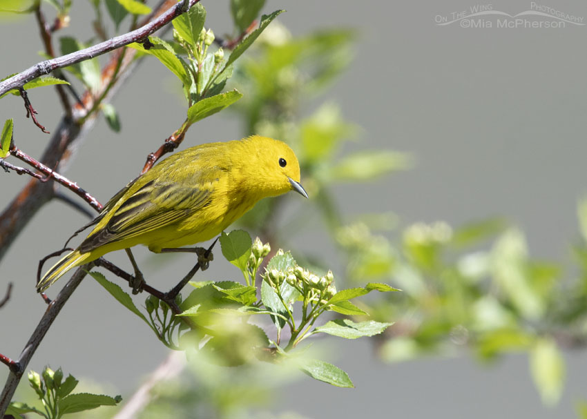 Yellow Warbler with tilted head, East Canyon, Morgan County, Utah