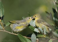 Female Yellow Warbler feeding her young, Little Emigration Canyon, Morgan County, Utah