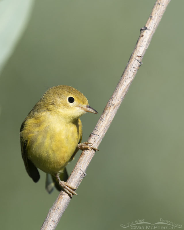Female Yellow Warbler watching her young, Little Emigration Canyon, Morgan County, Utah