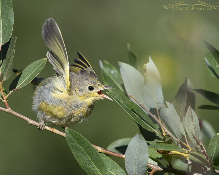 Hungry Yellow Warbler fledgling begging to be fed, Little Emigration Canyon, Morgan County, Utah