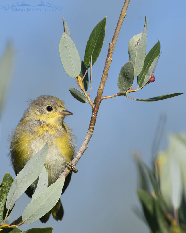 Fledgling Yellow Warbler perched in a tree, Little Emigration Canyon, Morgan County, Utah