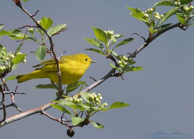 Yellow Warbler perched on a flowering, thorny tree, East Canyon, Morgan County, Utah