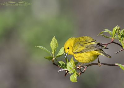 Foraging male Yellow Warbler, Little Emigration Canyon, Summit County, Utah
