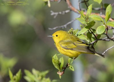 Lil bit of sunshine - Perched Yellow Warbler, Little Emigration Canyon, Summit County, Utah