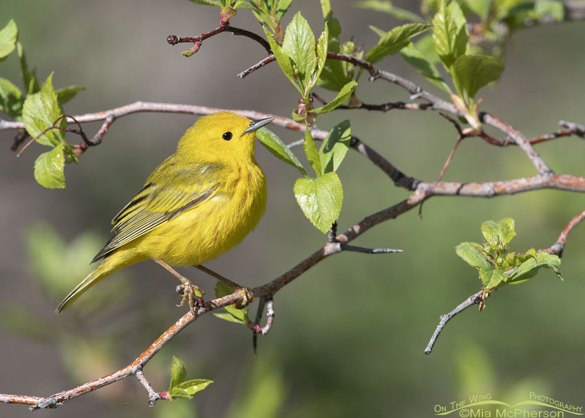 Male Yellow Warbler perched on a tree, Little Emigration Canyon, Summit County, Utah