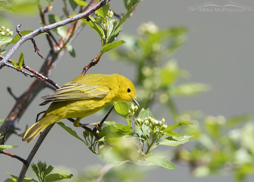 Yellow Warbler foraging in a flowering, thorny tree, East Canyon, Morgan County, Utah