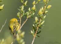 Yellow Warbler in Willows, Summit County, Utah
