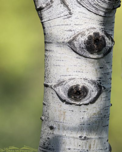 Pair of Aspen Eyes, Uinta Wasatch Cache National Forest, Summit County, Utah