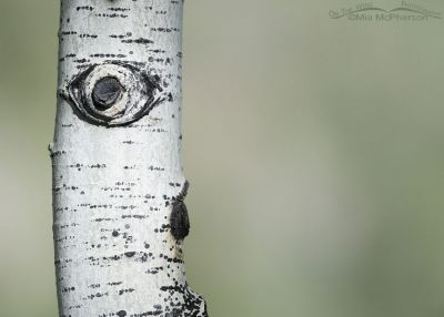 Sunlit Aspen Eye in the High Uintas, Uinta Wasatch Cache National Forest, Summit County, Utah