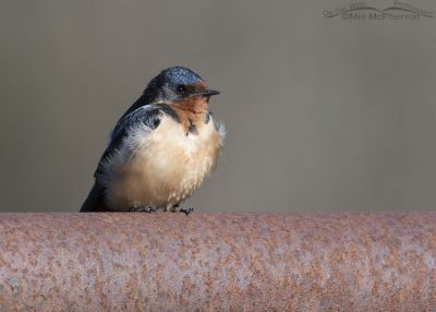 Adult Barn Swallow taking a break on a rusty gate rail, Little Emigration Canyon, Summit County, Utah