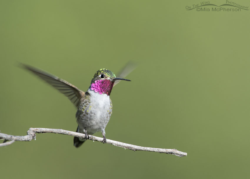 Male Broad-tailed Hummingbird landing on a favorite perch, Little Emigration Canyon, Morgan County, Utah