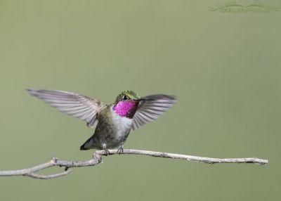 Landing Broad-tailed Hummingbird male, Little Emigration Canyon, Morgan County, Utah