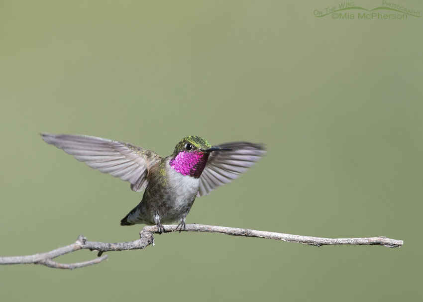 Landing Broad-tailed Hummingbird male, Little Emigration Canyon, Morgan County, Utah