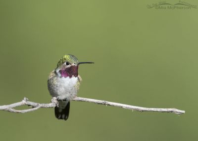 Male Broad-tailed Hummingbird on his favorite perch, Little Emigration Canyon, Morgan County, Utah