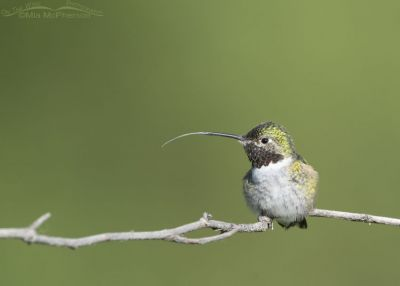 Broad-tailed Hummingbird male sticking out his tongue, Little Emigration Canyon, Morgan County, Utah