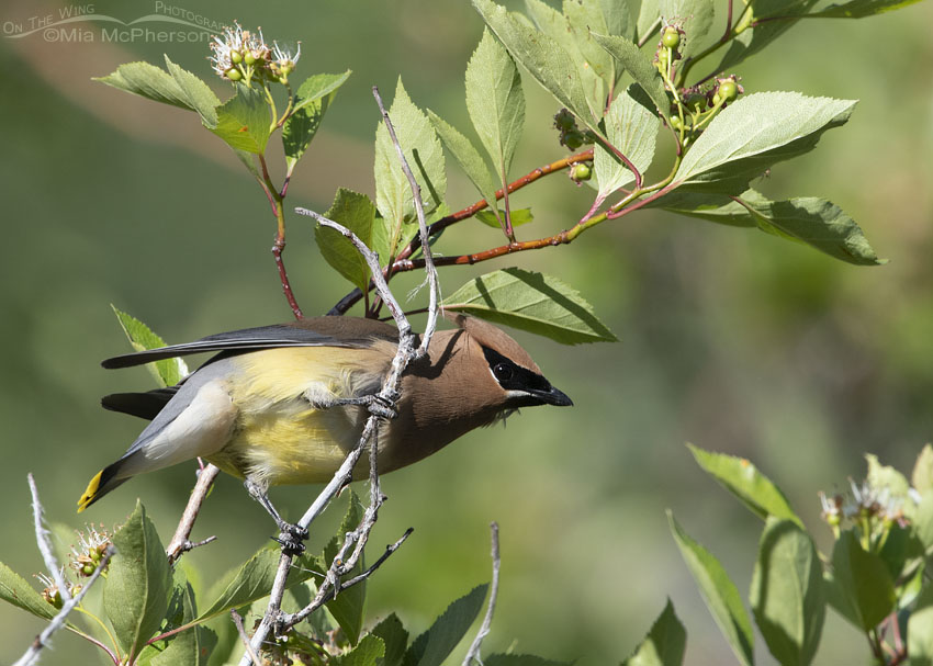Cedar Waxwing in a Hawthorn, Little Emigration Canyon, Summit County, Utah