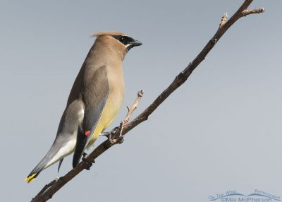 Cedar Waxwing adult with a cloudy sky background, Little Emigration Canyon, Summit County, Utah