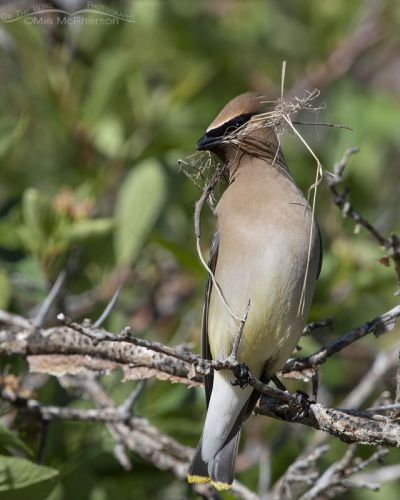 Cedar Waxwing with nesting material in its bill, Little Emigration Canyon, Summit County, Utah