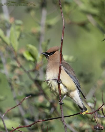 Cedar Waxwing perched on a Hawthorn, Little Emigration Canyon, Summit County, Utah