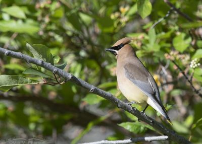 Adult Cedar Waxwing perched out in the open, Little Emigration Canyon, Summit County, Utah