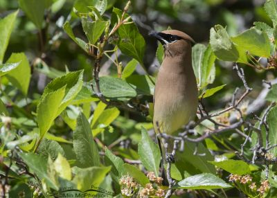 Cedar Waxwing camouflage, Little Emigration Canyon, Summit County, Utah