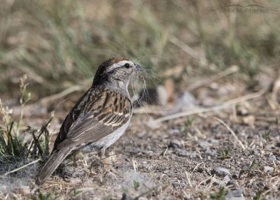Chipping Sparrow collecting nesting materials, Little Emigration Canyon, Summit County, Utah