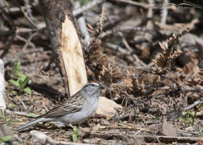 Chipping Sparrow with nesting material on the forest floor, Uinta Wasatch Cache National Forest, Summit County, Utah