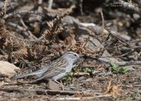 Chipping Sparrow with nesting materials, Uinta Wasatch Cache National Forest, Summit County, Utah