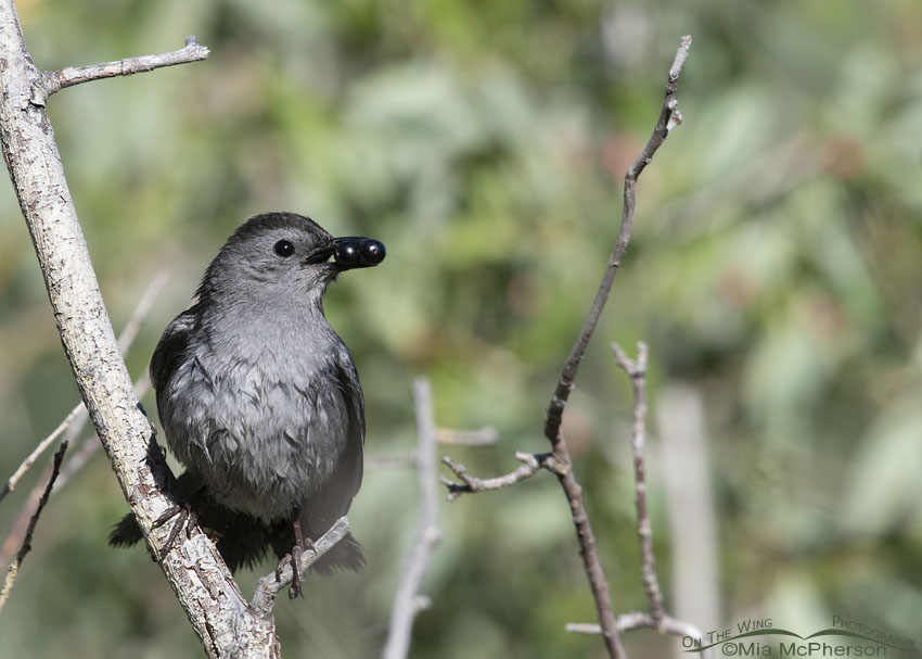 Gray Catbird with Black Twin Berry berries in its bill, Little Emigration Canyon, Summit County, Utah
