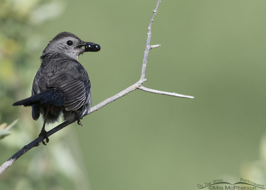 Perched Gray Catbird with Black Twin Berry berries, Little Emigration Canyon, Summit County, Utah