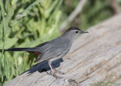 Gray Catbird on a log, Little Emigration Canyon, Summit County, Utah