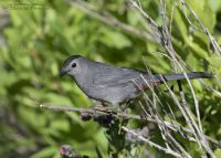 Gray Catbird perched on a twig, Little Emigration Canyon, Summit County, Utah